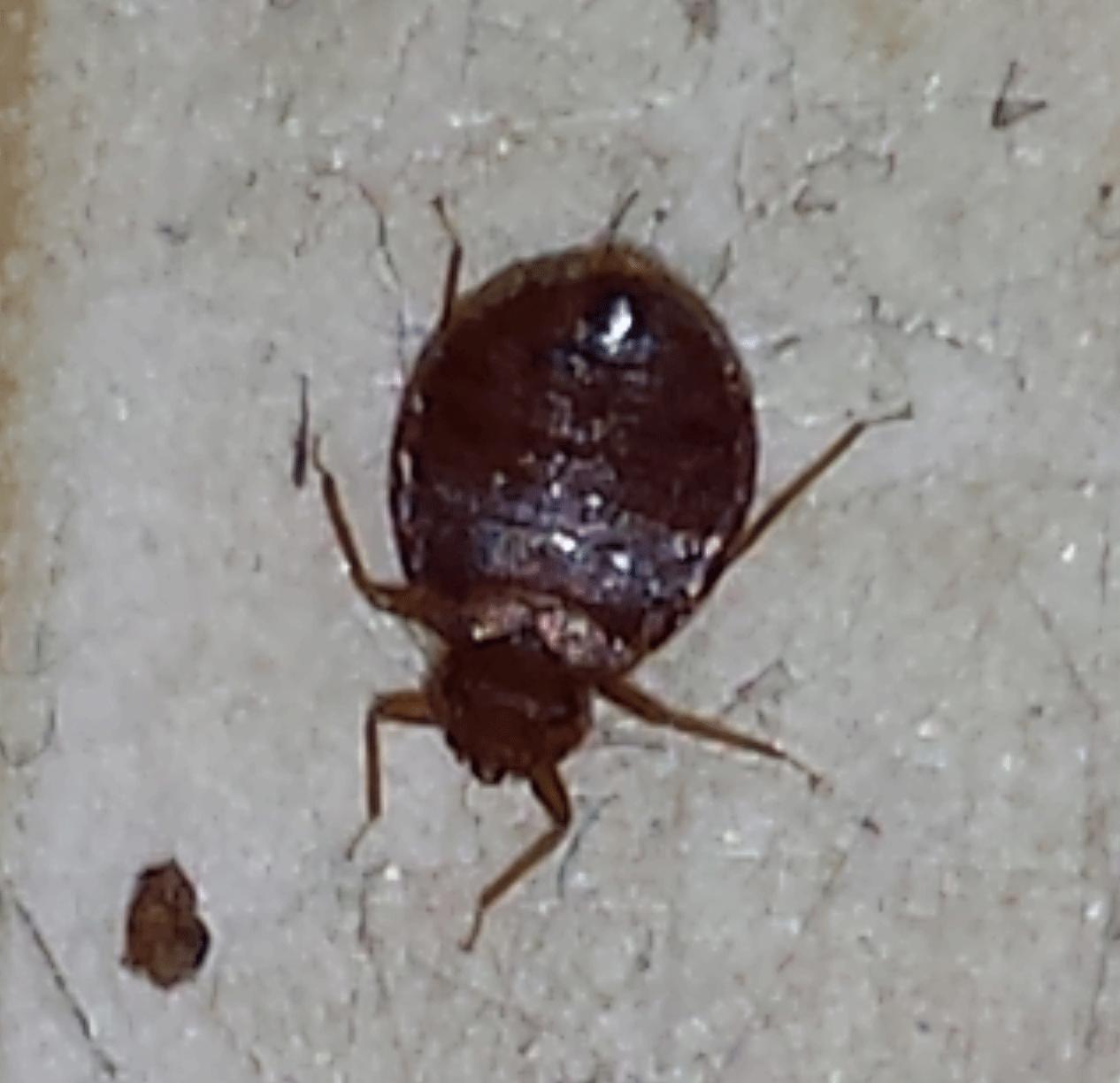 found bug on kitchen floor worried please id got bed bugs bedbugger forums. Black Bedroom Furniture Sets. Home Design Ideas